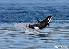6 mo Orca calf J50 spotted in Salish Sea off coast of British Columbia by photographer Clint Rivers