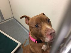 TO BE DESTROYED 05/29/17 ***REASON: SPACE*** 34175 - Pit Bull Terrier - 8 years old - #34175 - FOR MORE PICS, VIDEOS & INFO: http://www.dogsindanger.com/dog/1487363878595