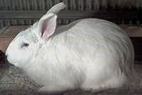 The Beveren rabbit is a watched breed. By 1919, the United States had a number of all blue rabbits; American Blue, Blue Beveren, Giant Blue Beveren, Barbancon Blue, Blue Imperial, Blue Vienna, and Blue Flemish Giants. Today's Beveren is recognized in three color varieties: solid blue, solid black, and a blue-eyed white. The fur has a gentle rollback and the coat should be dense and glossy.