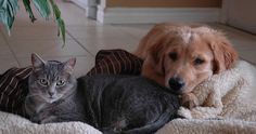 By Langley Cornwell In the past, I've only shared my home with dogs – and those dogs had little to no interaction with cats. Beautiful Kittens, Weimaraner, Cocker Spaniel, Maltese, Dog Friends, Cats And Kittens, Labrador, Dog Cat, The Past