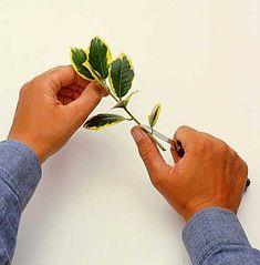 Fagyal és kecskerágó szaporítása - gazigazito.hu Silver Rings, Floral, Flowers, Plants, Gardening, Lawn And Garden, Flora, Royal Icing Flowers, Plant