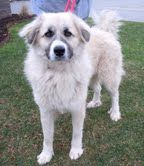 Mayva is an adoptable Anatolian Shepherd Dog in Marcus Hook, PA. Mayva is an absolutely beautiful girl. She's still pretty young, our vet says about a year old. She is a very happy girl. She get's along with anyone. LOOK HOW PRETTY!