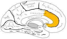 Secret Stories Research Base- connecting random phonemic skills to social-emotive content processing.Both social and physical pain register in a brain region called the anterior cingulate cortex (yellow). Stereotype Threat, Anterior Cingulate Cortex, Occipital Lobe, Corpus Callosum, Brain Based Learning, Early Learning, Limbic System, Giving Up On Life, Life Science
