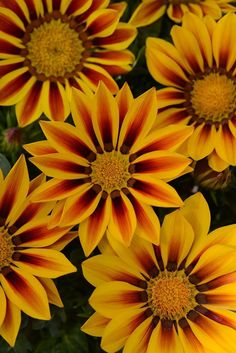 Annual Flower Seeds Gazania Seeds New Day