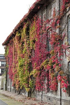 een muur vol wilde wingerd by zaanfocus, via Flickr
