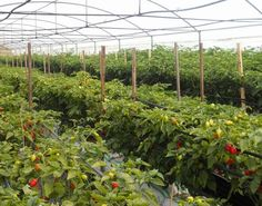 Italy: Picchi Farm a European leader in Habanero pepper production Backyard Aquaponics, Hydroponic Gardening, Gardening Tips, Growing Grapes, Growing Plants, Hydroponic Vegetables, Hydroponics System, Industrial, Plant Growth