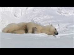 Fabulous video showing Mother Bear and Cubs    support polar bears  http://www.udopt.co.uk/wwf-adopt-an-animal/adopt-a-polar-bear/