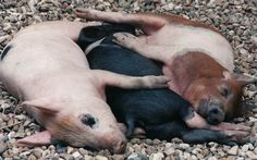 Three little pigs with their snouts a'snoozing.