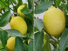 A citromfa, mely rengeteg gyümölccsel hálálja meg megmentőinek a törődést | Hobbikert Magazin Garden, Bonsai