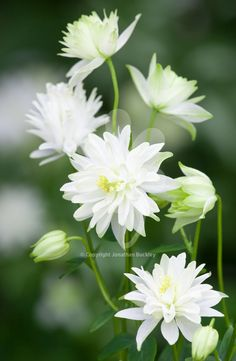 Sculptural, tiered flowers in this Columbine of pure greeny-white. Lovely shining out from the light shade where it thrives.