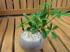 シェフレラ類 ウコギ科植物たち ① | プロトリーフの観葉植物ブログ