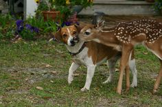 baby deer, and a begale? a hunting dog, see they get along, why can't people?