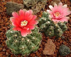 These beautiful little cacti (Gymnocalycium baldianum) grow some amazing flowers.