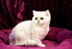 chinchilla cat personality