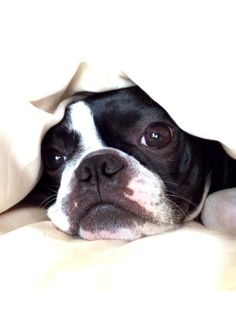 """Exceptional """"boston terrier puppies"""" information is readily available on our internet site. Read more and you will not be sorry you did. Terrier Breeds, Terrier Puppies, Dog Breeds, Bulldog Puppies, Cute Puppies, Cute Dogs, Boston Terrier Love, Boston Terriers, Easiest Dogs To Train"""