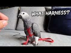 How I Tricked My Bird Into Wearing an Aviator Harness Parakeets, Cockatiel, Parrots, Tour Around The World, Conure, Bird Food, Sully, Pet Birds, Aviation