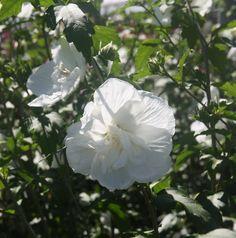 HIBISCUS syr. WHITE CHIFFON ® 'Notwoodtwo' White Chiffon, Hibiscus, Gardens, Flowers, White Flowers, Green
