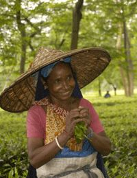 Tea picker in garden in Assam, India.