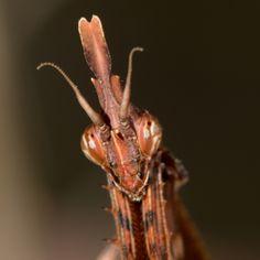 https://flic.kr/p/zC8KkZ | Empusa fasciata | Praying mantis (Empusa fasciata) in Fytema, Ikaria, Greece - October 10, 2015