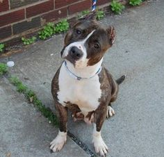 GONE RIP 6/27/13 Brooklyn Center  HEIDI A0968244  FEMALE BRINDLE/WHITE PIT MIX 7yrs Heidi caught kennel cough & that was the signal to automatically place her on tomorrow's Kill List. It doesn't matter that a few cheap antibiotics would take care of it; it's more convenient to kill the little girl. Heidi is a charmer who likes other dogs is sociable likes to play games as well as to sit & cuddle. Advocate for her tonite Heidi needs us to help find an adopter; her life depends on it