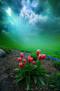 Tulipanes   Tulips - #flores #flowers