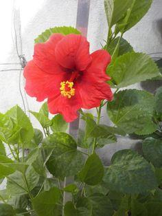 Meu hibisco voltando a florir