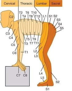 Learn all about cervical, thoracic, lumbar, and sacral anatomy!You can find Anatomy and more on our we. Muscle Anatomy, Body Anatomy, Nursing Tips, Nursing Notes, Ob Nursing, Funny Nursing, Medical Anatomy, Human Anatomy And Physiology, Medical Information