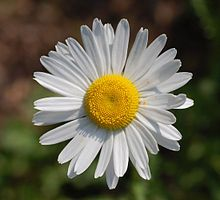 Marguerite (leucanthemum vulgare).  daisies!