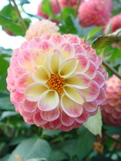 Dahlias are popular flowers in many a temperate garden, and exist in many cultivars. Learn how to grow dahlia plants so you can obtain the best blooms. All Flowers, Exotic Flowers, Amazing Flowers, My Flower, Colorful Flowers, Beautiful Flowers, Dahlia Flowers, Popular Flowers, Blue Dahlia