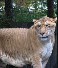 A Liger. Thats right.