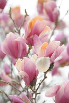 magnolia blossoms-  We had a magnolia in the back yard when I was a kid.  Not as pretty as this, though.