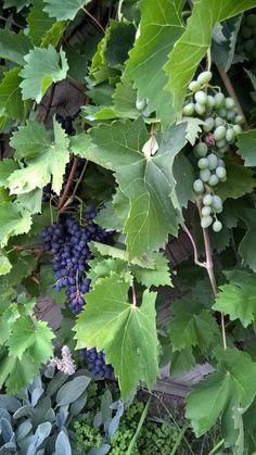 rote und weiße Weintrauben