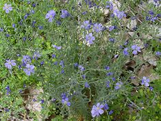 Linum lewisii - Lewis Flax, Prairie Flax, Western Blue Flax. The seeds are edible, but only if cooked. The raw, uncooked seeds are poisonous. The cooked seeds have a nutty flavor and a high oil content.