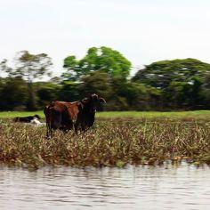 Vaca en la llanura inundada #Venezuela #Apure #cow #igersvenezuela #igersven #ElNacionalWeb #MiLlano_Estrella