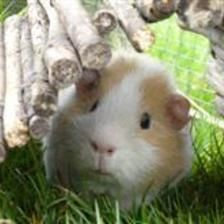 Cardamon is an unneutered male guinea pig looking for a new home with an existing unneutered male guinea pig. He is such a friendly boy who gets very excited when out in his run and loves to munch on the grass!