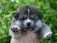 here's a Akita puppy (hachiko breed) forget about michael jackson monkey
