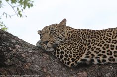 Q leopard-sabi-sand