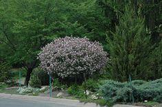 Dwarf Korean Lilac (tree form) (Syringa meyeri 'Palibin (tree form)') at Millcreek Nursery Ltd; love Dwarf Korean lilac - 9 ft ft spread - in tree form. Small Plants, Small Trees, Dwarf Korean Lilac Tree, Dwarf Trees, Syringa, Outdoor Pots, Fence Landscaping, Deciduous Trees, Types Of Soil