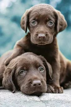 Photo: Chocolate labrador dog  Chocolate Labrador facts, features, and fun! This is a complete, in-depth guide to the world's favourite brown dog. From the origins of the chocolate Lab, to how to find a puppy, it's all here.  Throughout the history of the breed, a chocolate Labrador or two(sometimes referred to as liver Labradors) has appeared occasionally in litters of Labrador puppies  Way back in the last century, puppies with this then undesirable colour were sometimes simply culled…