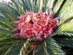 Cycas revolutas Sago Palm, Botany, Garden Landscaping, Landscape, Gardens, Exotic Plants, Flowers, Palmas, Display