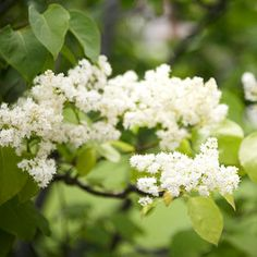 I would love a Japanese Lilac tree in my someday big back yard w/ the white picket fence.