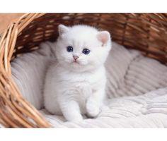 kitten for Sale is a Female British Shorthair Kitten For Sale in New Brunswick NJ