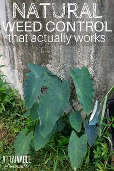 Natural weed killers and other weed control methods can be hit or miss. Here's what works (and what's less than stellar) at keeping weeds at bay. From weed barriers to natural weed killers in a spray bottle, these are some of the methods that I've tried with varying levels of success to control invasive weeds. #garden #homestead #greenerliving via @Attainable Sustainable