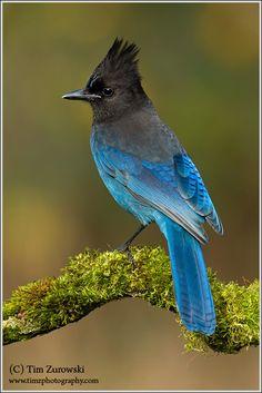 Steller's Jay, Long-crested Jay, Mountain Jay, or Pine Jay (Cyanocitta stelleri)