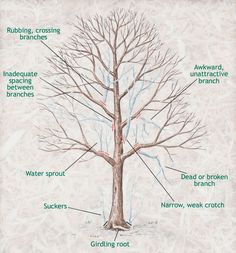 tree pruning tips (#1 - Leave LARGE trees to an arborist or tree service for safety & the tree's health)