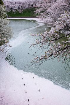 cherry blossoms and river