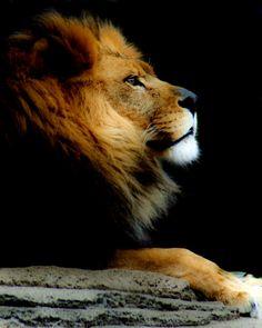 "Lion Profile - Very ""Kingly"""