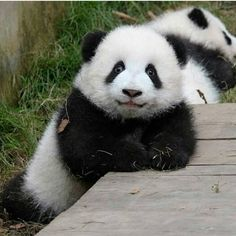 In order to use this a panda bear as tour dont hesitate. Cute Funny Animals, Cute Baby Animals, Animals And Pets, Nature Animals, Panda Love, Cute Panda, Hello Panda, Beautiful Creatures, Animals Beautiful