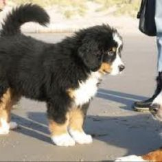 Saint Bernese Mountain dogs, I want one soooo badly!
