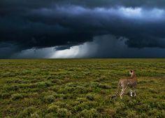 Südlich des Ndutu Waldgürtels in der Ngorongoro Conservation in Tansania     © Uwe Skrzypczak